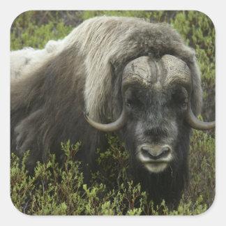 EUA, Alaska, Nome. Fim-acima do boi de musk Adesivo Quadrado