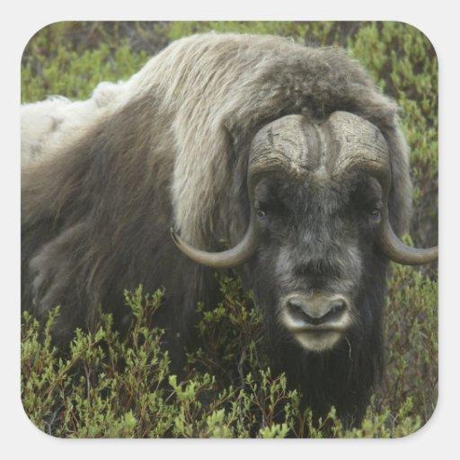 EUA, Alaska, Nome. Fim-acima do boi de musk Adesivos Quadrados