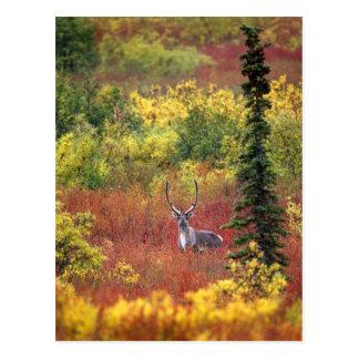 EUA, Alaska, parque nacional de Denali. Caribu e Cartão Postal