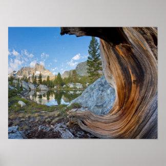 EUA, Califórnia, floresta nacional de Inyo. Pinho Poster