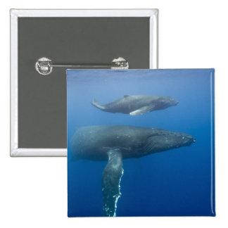 EUA, Havaí, ilha grande, vista subaquática de Bóton Quadrado 5.08cm