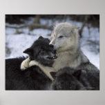 EUA, Montana, lobos que jogam na neve Poster