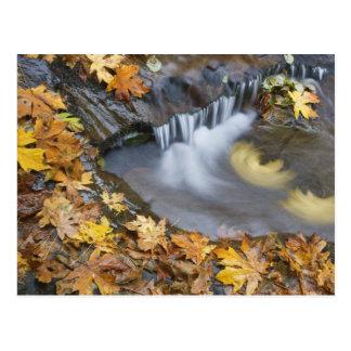 EUA, Oregon, angra doce. Folhas de bordo caídas Cartão Postal