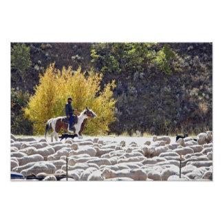 EUA, Wyoming, Evanston. Vaqueiro que reune carneir Impressão De Foto