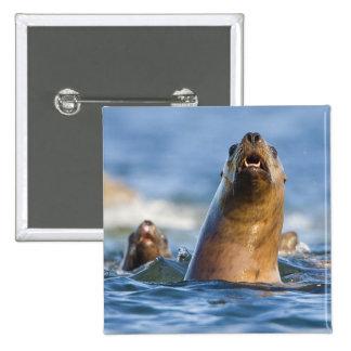 Eumetopias estelar agressivo dos leões de mar bóton quadrado 5.08cm