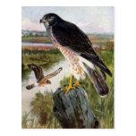 Falcão de pântano cartão postal