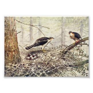 Falcões de pardal impressão de foto
