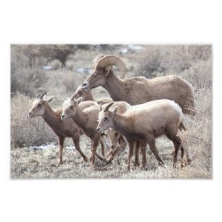 Família do Bighorn Artes De Fotos