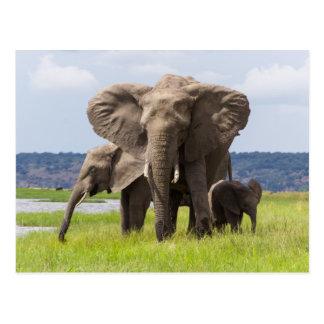 Família do elefante africano, Botswana, cartão
