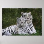 Fase branca, tigre de Bengal, Tigris Posters
