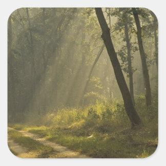 Feixes luminosos da manhã através das árvores na adesivo quadrado