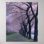 Fileira de árvores do cherryblossom impressão