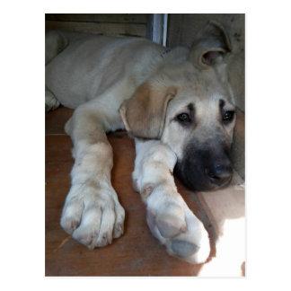Filhote de cachorro anatólio do pastor cartoes postais