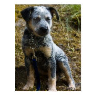 Filhote de cachorro azul de Heeler Cartão Postal