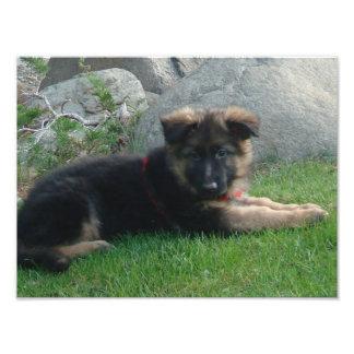 filhote de cachorro do german shepherd que coloca  impressão de foto