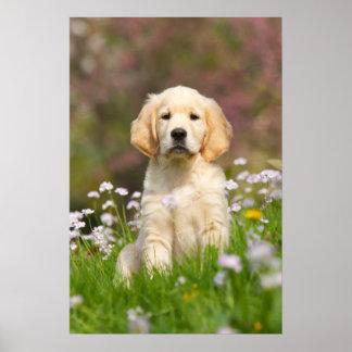 Filhote de cachorro do golden retriever um Goldie Pôster