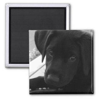 Filhote de cachorro preto do laboratório ímã quadrado