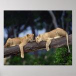 Filhotes de leão que encontram-se no ramo de árvor posters