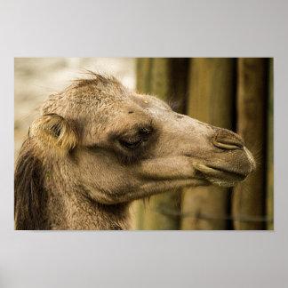 Fim-acima da cara do camelo pôster