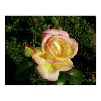 Fim cor-de-rosa do rosa amarelo acima do papel de  cartão postal