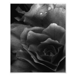 Fim preto e branco acima de uma begónia dobro impressão de foto