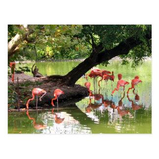 Flamingos cor-de-rosa 7124 cartão postal