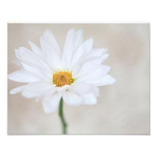 Flor amarela branca das margaridas da flor da impressão de foto