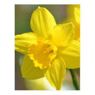 Flor amarela do Daffodil Cartão Postal