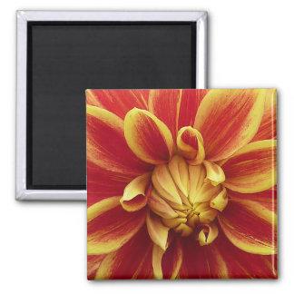 Flor amarela vermelha da dália ímã quadrado