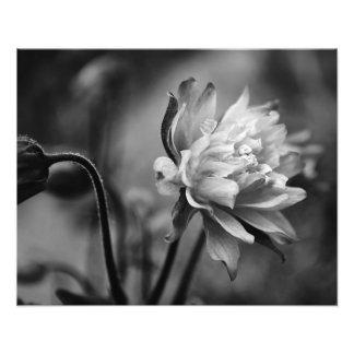Flor aquilégia em preto e branco impressão de foto