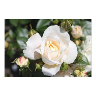 Flor bonita do rosa branco. fotografia floral