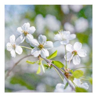 Flor branca da cereja impressão de foto