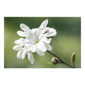 Flor branca da magnólia impressão de foto