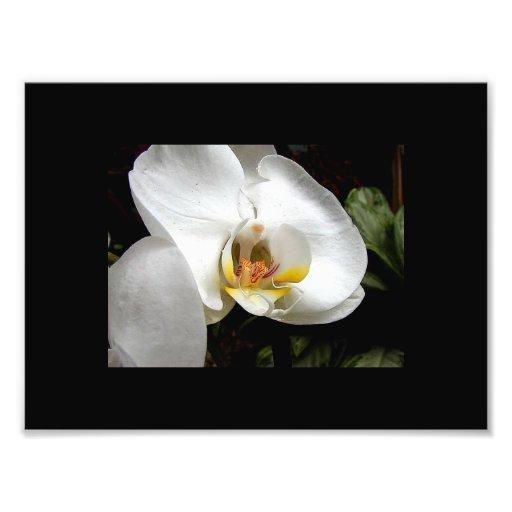 Flor branca da orquídea impressão de fotos