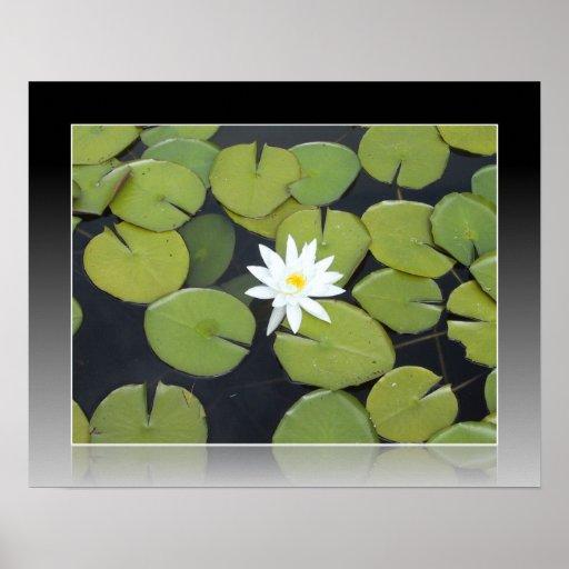 Flor branca de Lilypad Poster