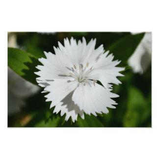 Flor branca do cravo-da-índia impressão fotográficas