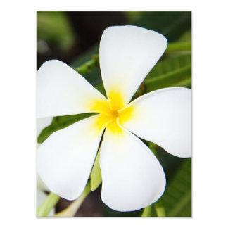 Flor branca do Plumeria - modelo floral do Frangip Impressão De Foto