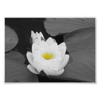 Flor branca e amarela da almofada de lírio impressão de foto