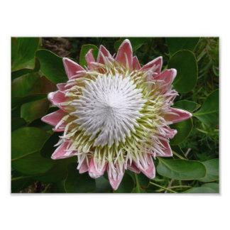 Flor cor-de-rosa e branca grande impressão de foto