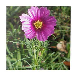 Flor cor-de-rosa escura da margarida do cosmos