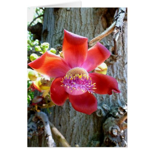 Flor da árvore da bala de canhão cartao