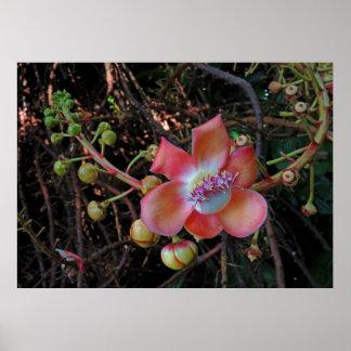 Flor da árvore da bala de canhão poster