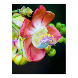 Flor da bala de canhão cartão postal