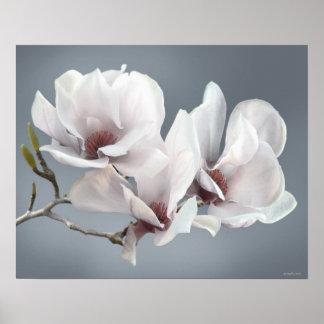Flor da magnólia do primavera, rosa, brandamente c poster