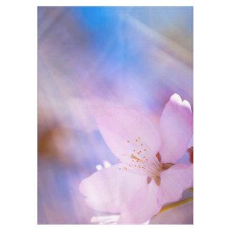 Flor de cerejeira cor-de-rosa toalha de mesa