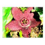 Flor de estrela do mar - flor roxa do cacto/Succul Cartões Postais