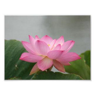 Flor de Lotus cor-de-rosa Impressão De Foto