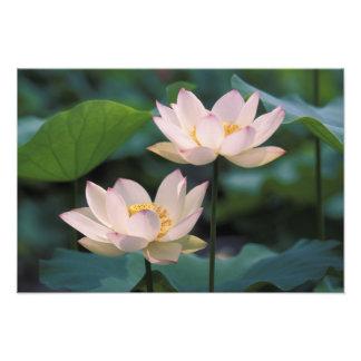 Flor de Lotus na flor, China Impressão De Foto