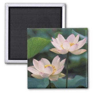 Flor de Lotus na flor, China Imãs