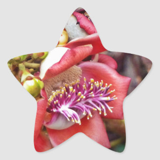 Flor de Sala da fruta da bala de canhão Adesito Estrela